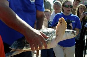 Sea turtle release02
